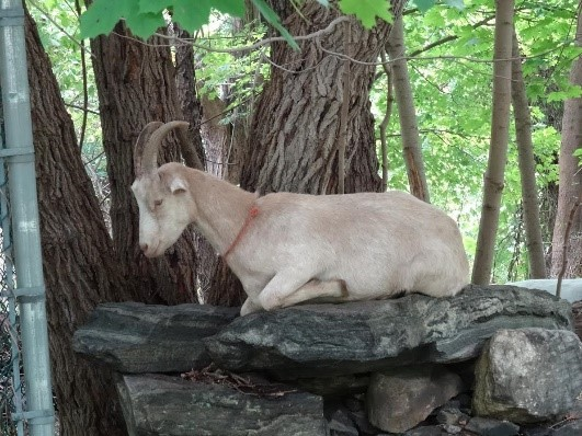 A goat laying on a rock in a wooded area