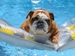 Dog in Pool 1