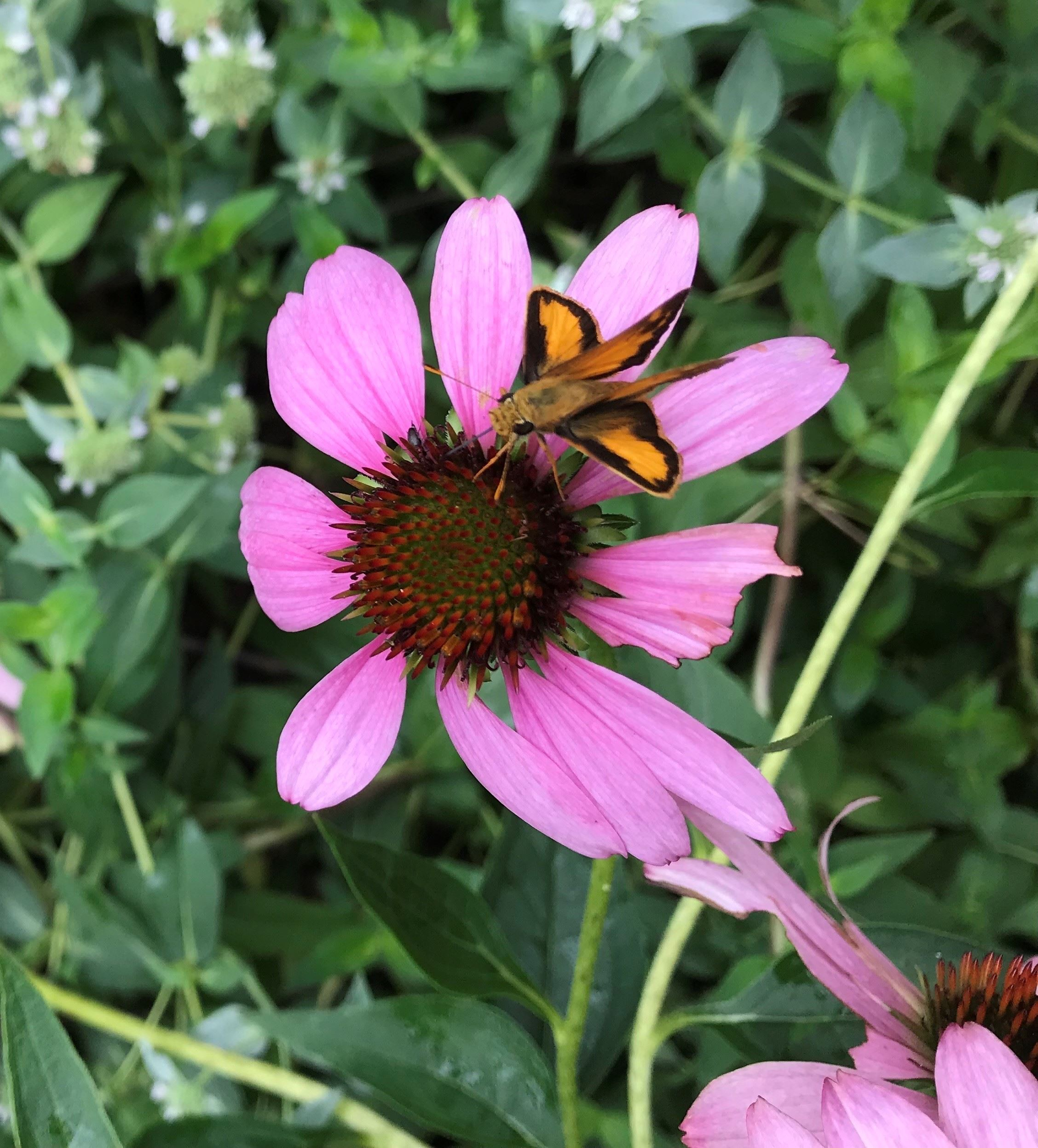 Pollinator Pathway Plant - Skipper Butterfly on Echinacea
