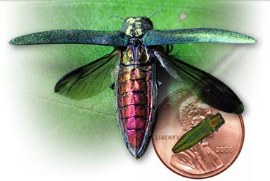 Emerald Ash Borer with wings spread
